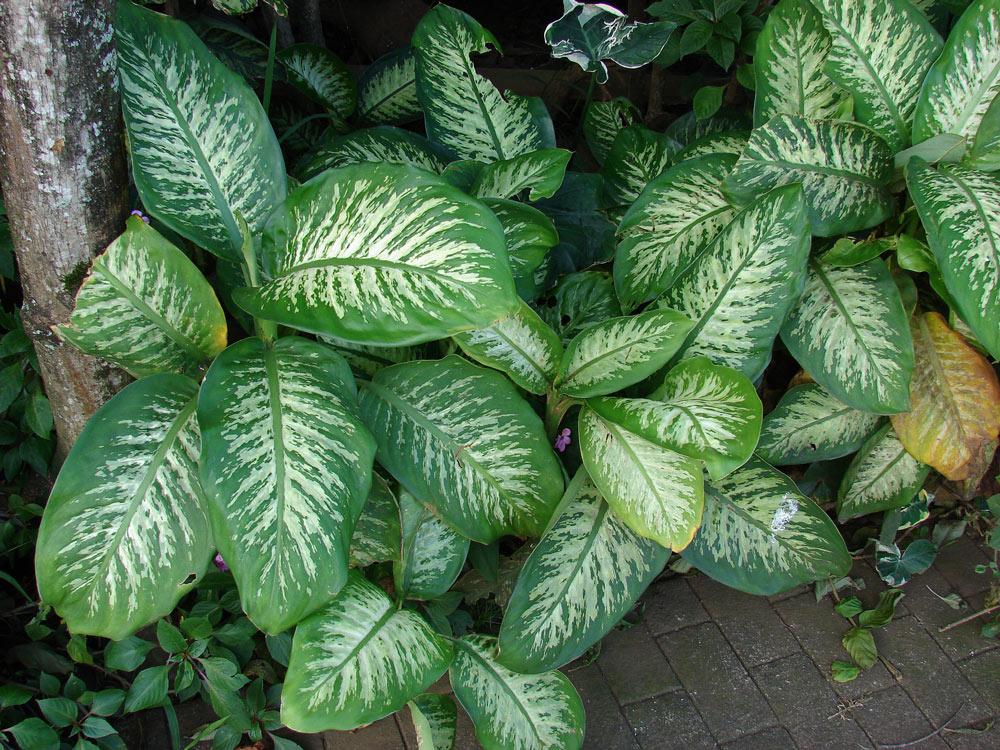 dumb cane poisonous plant