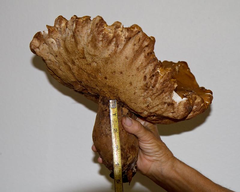 Giant florida bolete mushroom