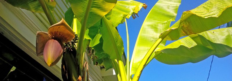 banana-trees-cold-climate1