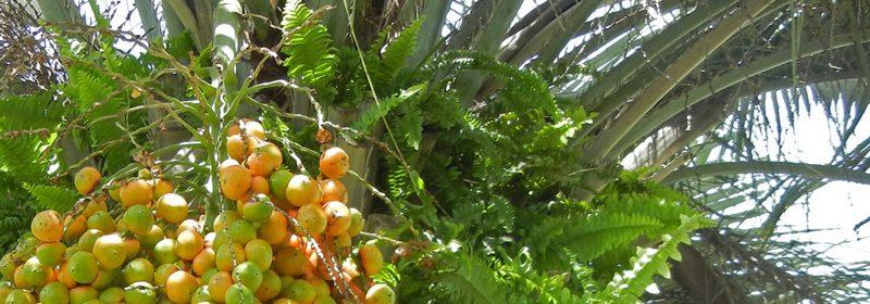 pindo-palm-fruit