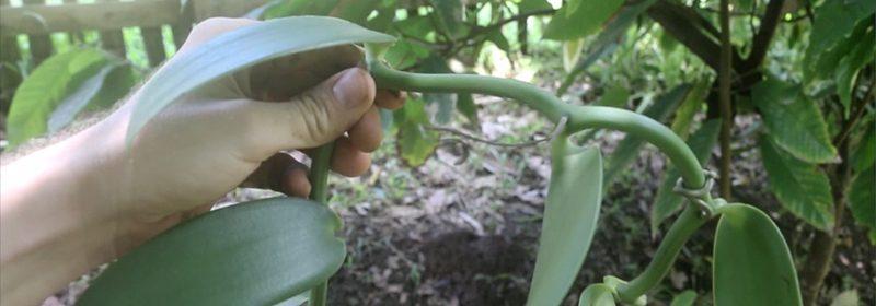 planting vanilla orchids