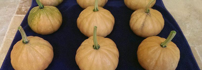 Seminole-pumpkins-douglas-3