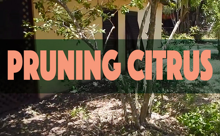 pruning a lime tree and feeding citrus organically