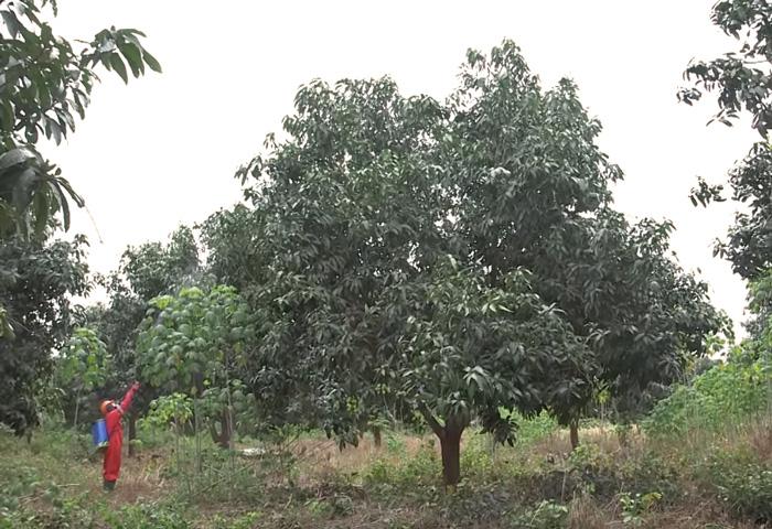 large mango tree needs to be pruned