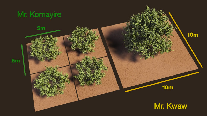 small mango trees