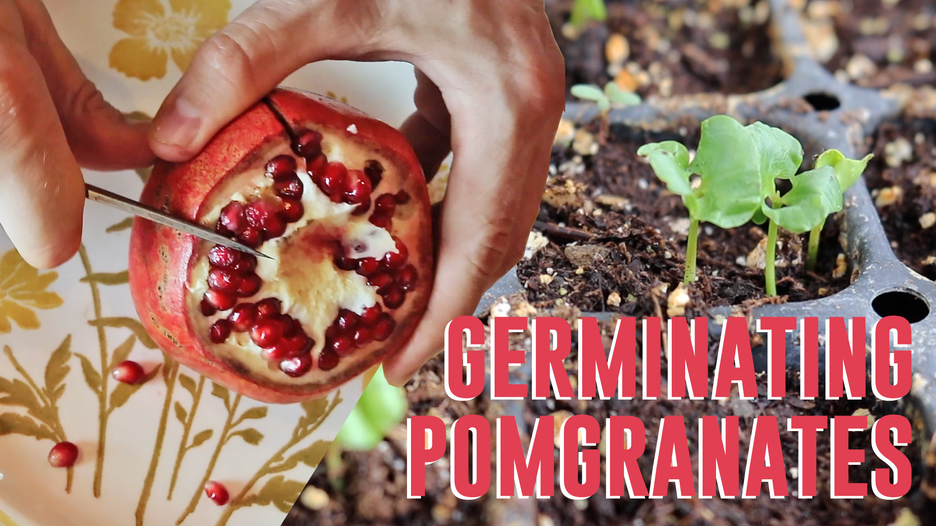 Pomegranates From Seed The Easy Way