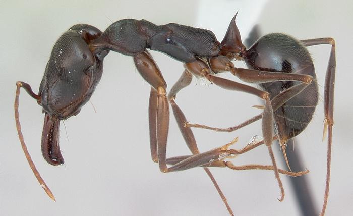 giant black stinging ant alabama lives in leaves