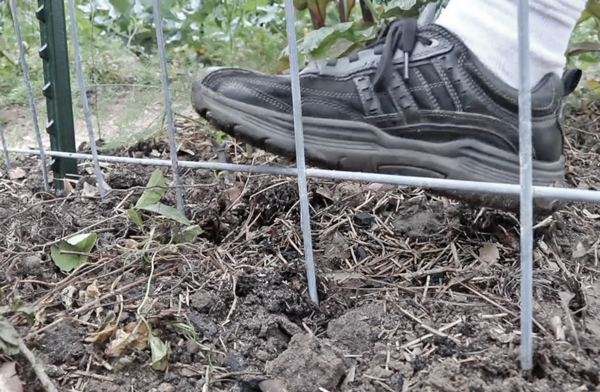 sticking bottom of cattle panel trellis into the ground