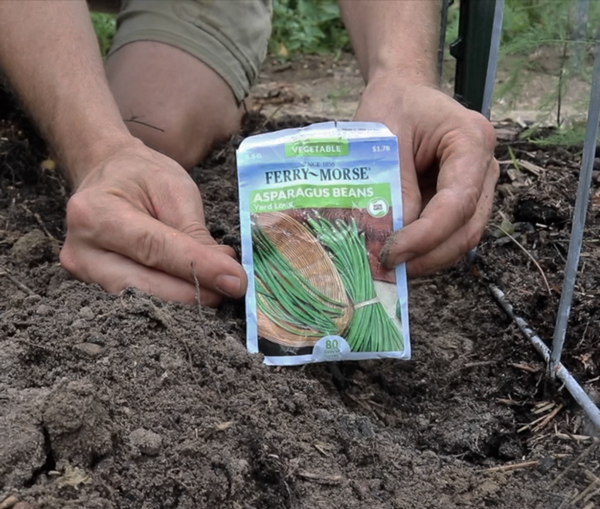 snake beans planted at bottom of cattle panel trellis