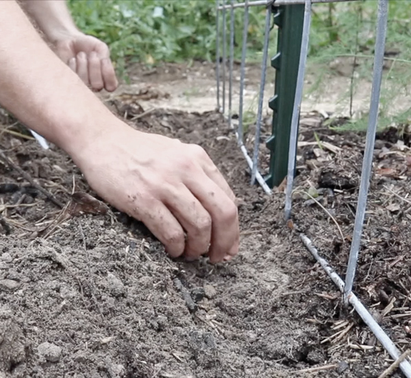 planting at the bottom of a cattle panel trellis