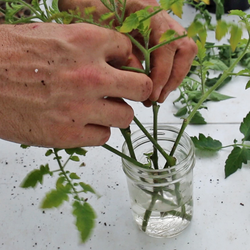 rooting tomato cuttings in water
